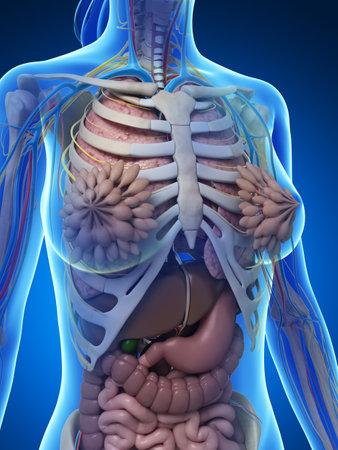 huesos: 3d rindió la ilustración de la anatomía femenina Foto de archivo