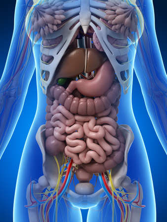 sigmoid colon: 3d rendered illustration of the female anatomy Stock Photo