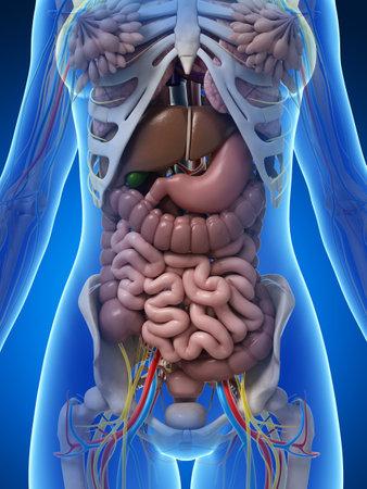 sistema digestivo: 3d rindi� la ilustraci�n de la anatom�a femenina Foto de archivo