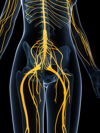 3d rendered illustration of the female nervous system Stock Illustration - 18451642
