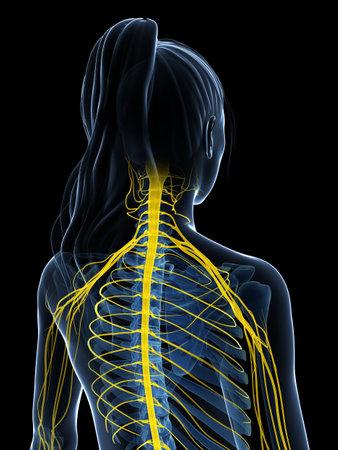 3d rendered illustration of the female nervous system Stock Illustration - 18451646