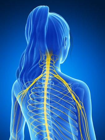 3d rendered illustration of the female nervous system Stock Illustration - 18451803