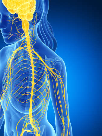 3d rendered illustration of the female nervous system Stock Photo