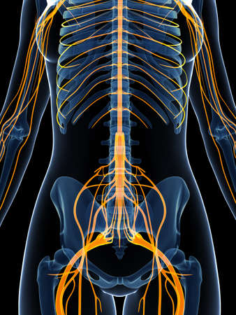 median: 3d rendered illustration of the female nervous system Stock Photo