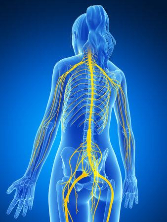 medula espinal: 3d rindi� la ilustraci�n del sistema nervioso femenino