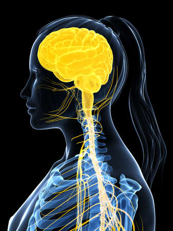 central cord: 3d rendered illustration of the female nervous system Stock Photo