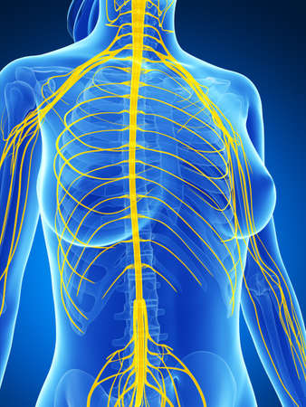 sciatic nerve: 3d rendered illustration of the female nervous system Stock Photo