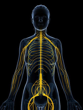 3d rendered illustration of the female nervous system Stock Illustration - 18451447
