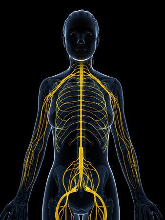 sistema nervioso: 3d rindió la ilustración del sistema nervioso femenino