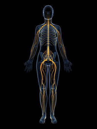 nerveux: 3d illustration rendu du syst�me nerveux f�minin Banque d'images