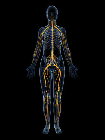 lumbar: 3d rendered illustration of the female nervous system Stock Photo