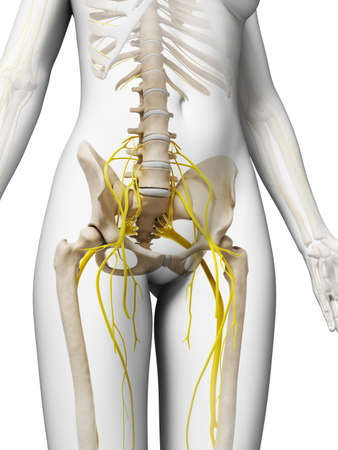 sacral: 3d rendered illustration of the female nervous system Stock Photo