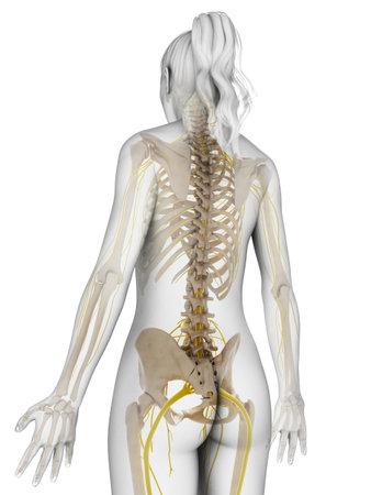 columna vertebral: 3d rindi� la ilustraci�n del sistema nervioso femenino