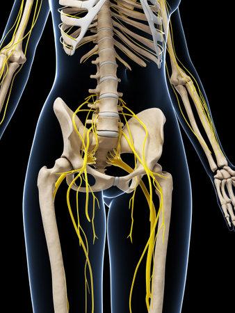 nervios: 3d rindió la ilustración del sistema nervioso femenino