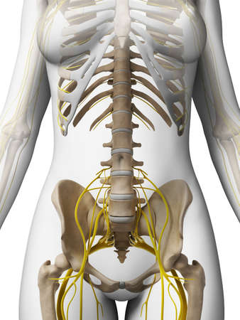 healthy body: 3d rendered illustration of the female nervous system Stock Photo