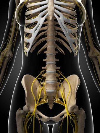 sacral nerves: 3d rendered illustration of the female nervous system Stock Photo