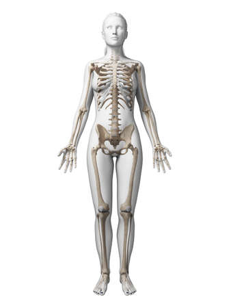 3d rendered illustration of the female skeleton Banco de Imagens