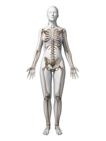 3d teruggegeven illustratie van het vrouwelijke skelet
