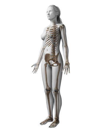 female anatomy: 3d rendered illustration of the female skeleton Stock Photo
