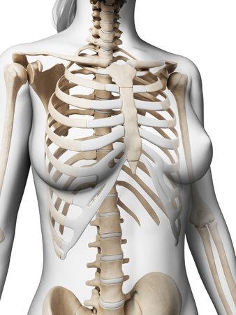 huesos humanos: 3d rindió la ilustración del esqueleto femenino