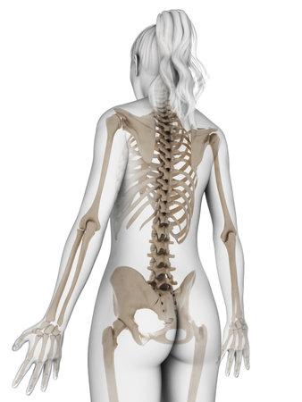 human skeleton: 3d rindió la ilustración del esqueleto femenino