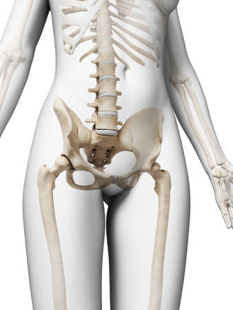 3d rendered illustration of the female skeleton illustration
