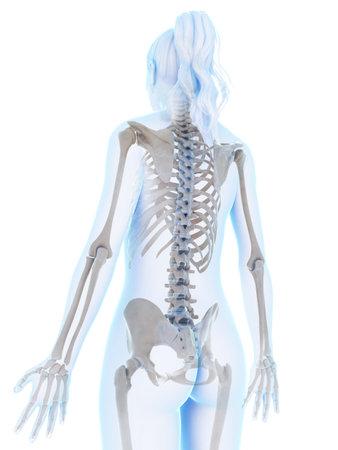 3d rendered illustration of the female skeleton Stock Illustration - 18448460