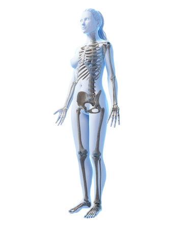 여성의 골격의 3D 렌더링 된 그림