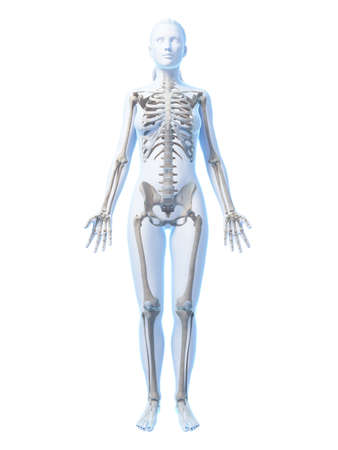 bone anatomy: 3d rendered illustration of the female skeleton Stock Photo