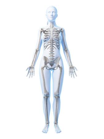 scheletro umano: Illustrazione di rendering 3D dello scheletro femminile