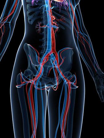 chambers: 3d rendered illustration of the female vascular system