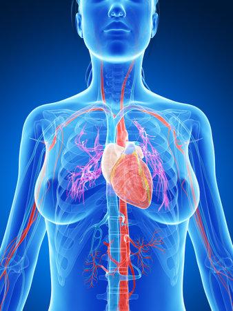 vascular: 3d rendered illustration of the female vascular system