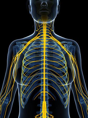 3d rendered illustration of the female nervous system Stock Illustration - 18451849