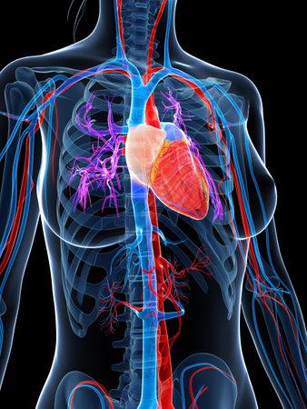 3d rendered illustration of the female vascular system illustration