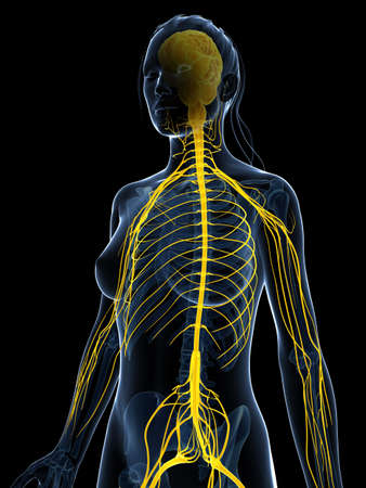 sacral nerves: 3d rendered illustration of the female nervous system Stock Photo