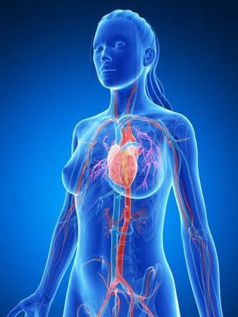 pulmonary artery: 3d rendered illustration of the female vascular system