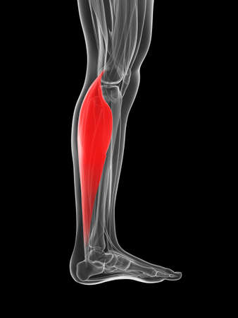 gastrocnemius: 3d rendered illustration of the gastrocnemius
