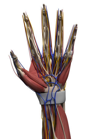 tendons: 3d rendered illustration of the human hand Stock Photo