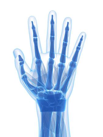 phalanx: 3d rendered illustration of the human hand Stock Photo