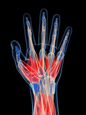 fisiologia: 3d rindi� la ilustraci�n de los m�sculos de la mano humana
