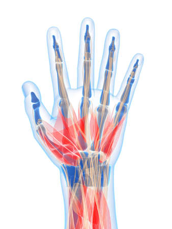 muscle bone: 3d rendered illustration of the human hand muscles Stock Photo