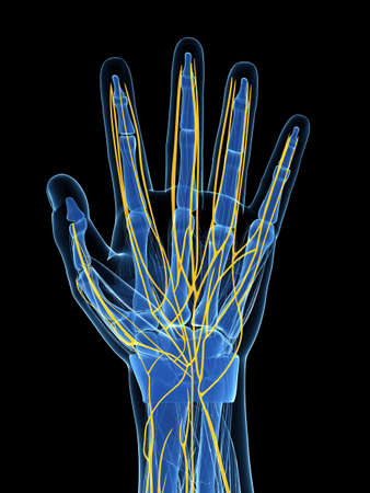 phalanx: 3d rendered illustration of the human hand nerves