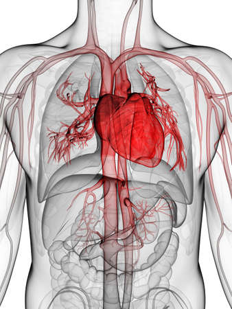 3d rendered illustration of the human heart illustration