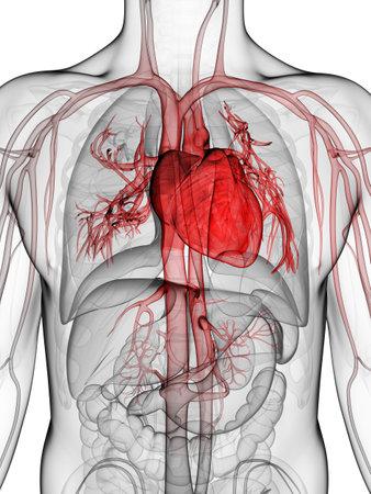 circolazione: Illustrazione di rendering 3D del cuore umano