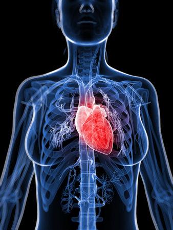 body heart: 3d rendered illustration of the female heart