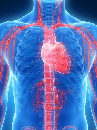 corazon humano: 3d rindió la ilustración del corazón humano