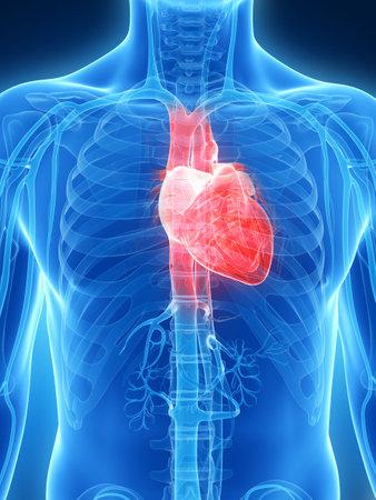 3d rendered illustration of the human heart illustration