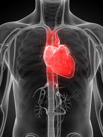 transparent male anatomy: 3d rendered illustration of the human heart
