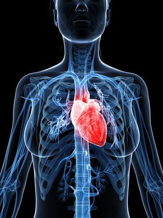 3d rendered illustration of the female heart illustration