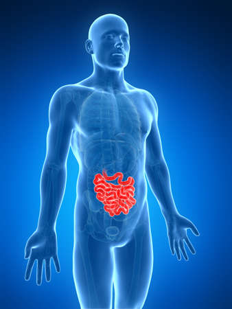 3d rendered illustration of the small intestine illustration